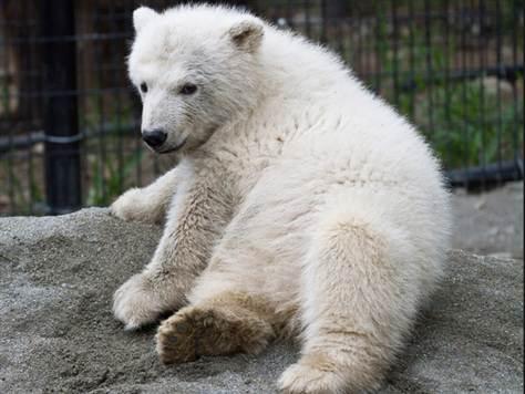Orphan polar bear heads to US